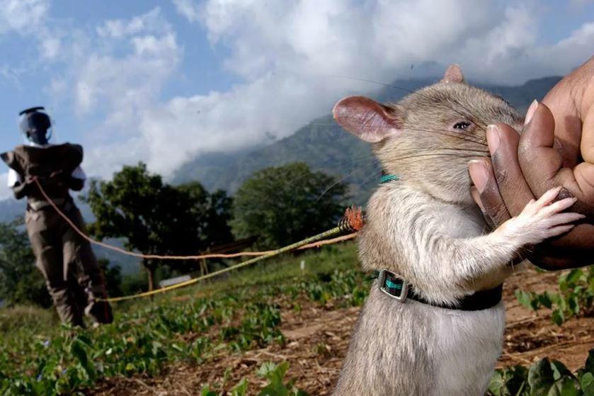 Как бы там нибыло, но Комбоджийские крысы на родине прекрасно работают сапёрами.