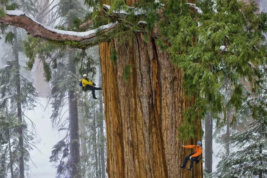 Секвойя - хвойное дерево , которое относится к живым ископаемым растениям.