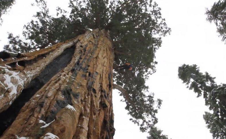 Самое масивное дерево планеты.