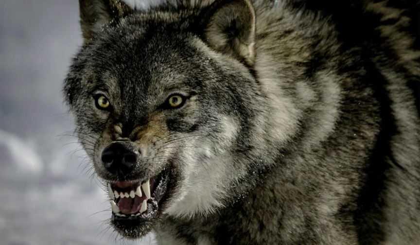 На этот раз волк проиграл... А в следующий раз?