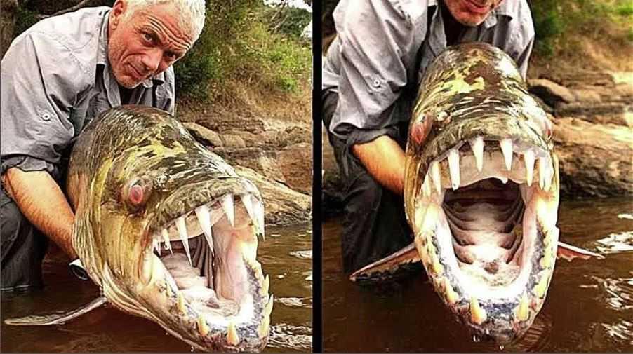 По сути, это гигантская пиранья, которая, как утверждает Джереми, может вырвать кусок мяса у крокодила.