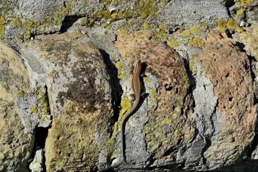 ящерица на камне.