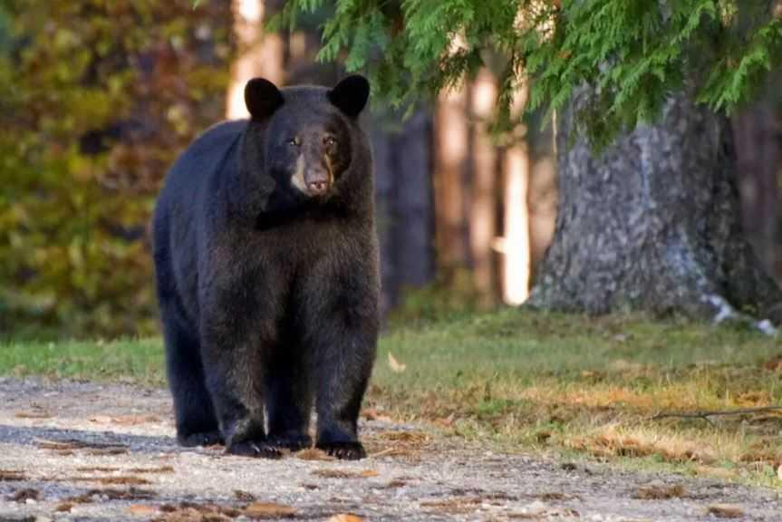 Медведь посмотрел, оценил, и начал свой разбег...