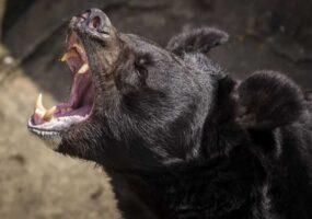 """Черный медведь настойчиво дожидался """"агрессора"""""""
