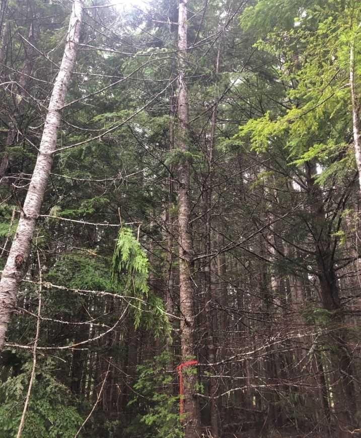 Дерево, на которое взобрался Фрэнсис, в надежде, что черный медведь оставит попытки разорвать его.