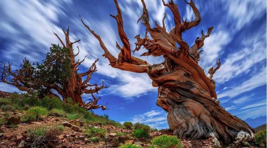 Самое старое дерево в мире Мафусаил (Methuselah).