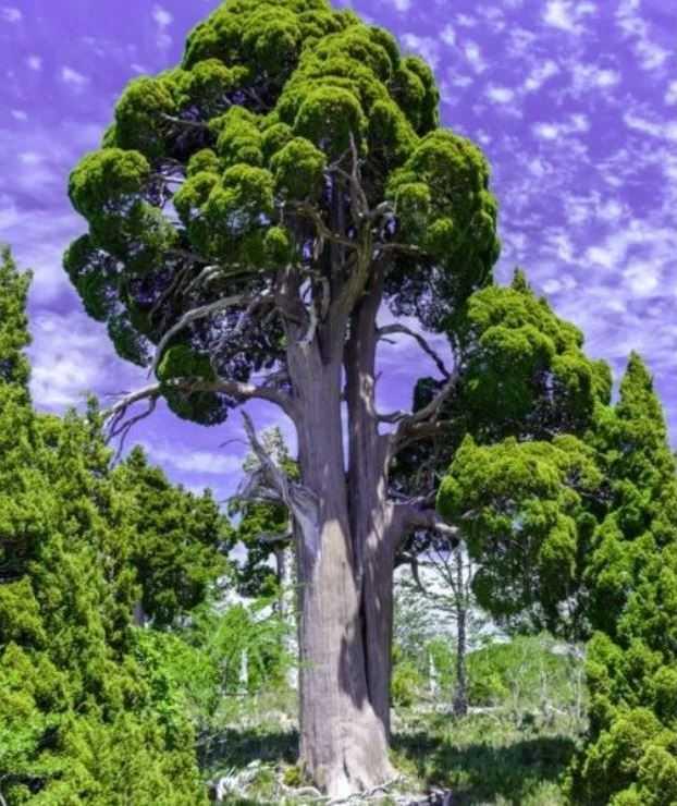 Самые старые деревья, чаще всего - хвойные. Как и этот Фицрой.