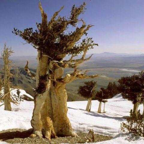 Самые старые деревья, живущие в наше время