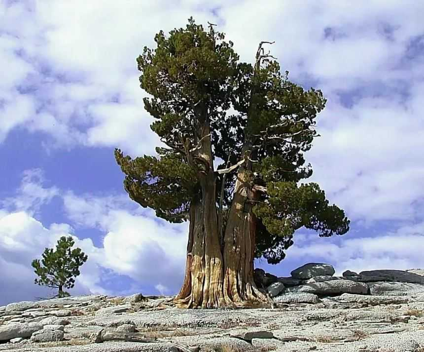 Самые старые деревья в мире поражают своим возрастом.
