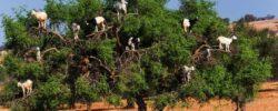 Козы растут на деревьях?