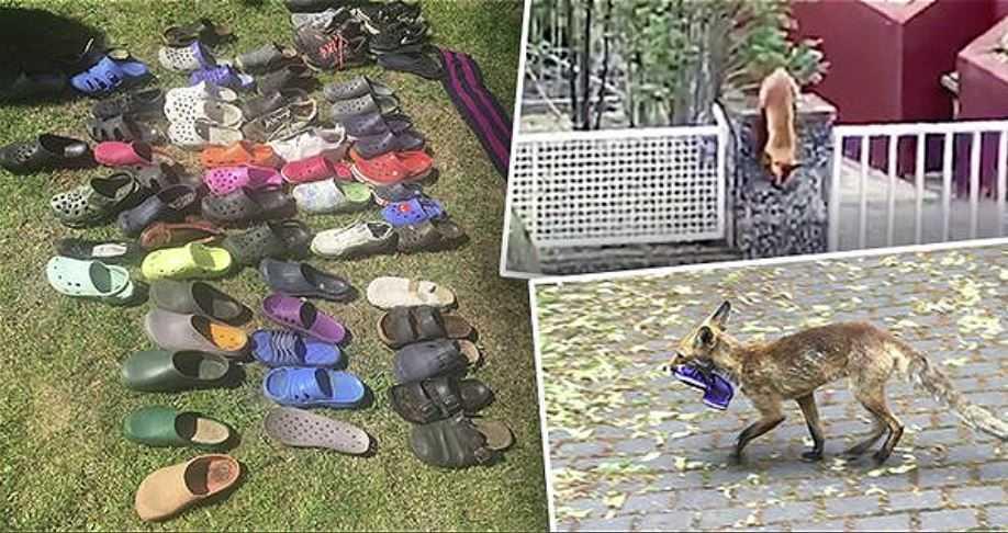 На юго-западе Берлина лиса украла с террас местных жителей около 100 единиц обуви.