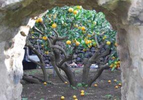 Сады Пантеллерия, для одного цитрусового дерева