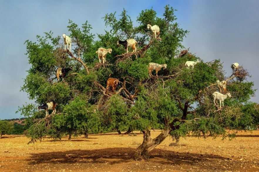 Козы забираются на произрастающие здесь деревья арганы, где поедают листву.