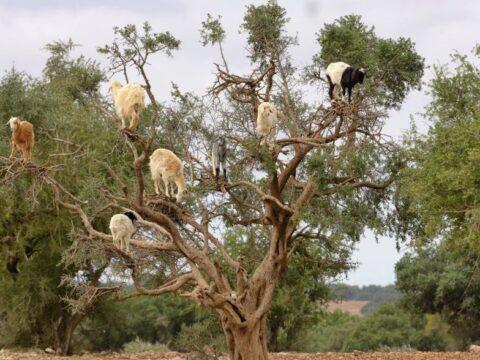 Марокканские козы забираются на аргановое дерево и питаются его плодами.