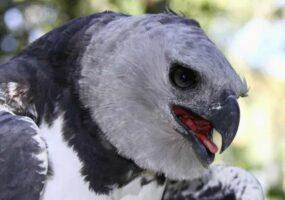 Познакомьтесь: величественный орел-гарпия