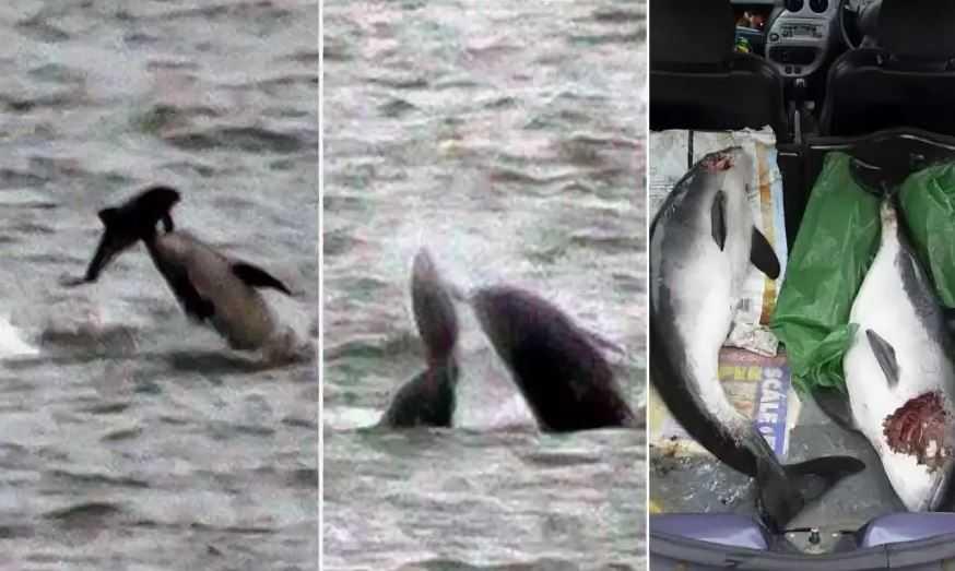 Это странно и лишено всякого смысла, ведь дельфины не питаются морскими свиньями.