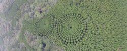 «Лесные круги» Японии: разгадка оказалась прозаичной