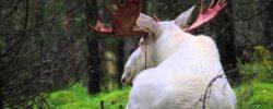 Убийство белого лося предрекает неудачу