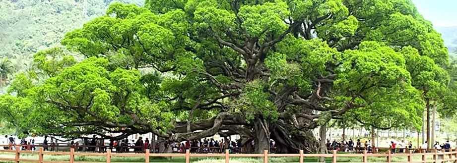 А это наше, земное дерево Баньян.