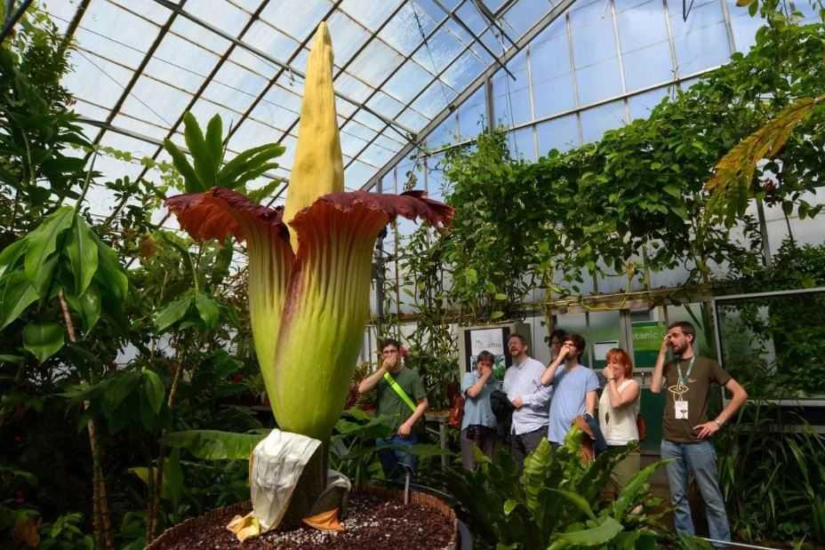 Трупной цветок - крупнейшая цветок в мире.