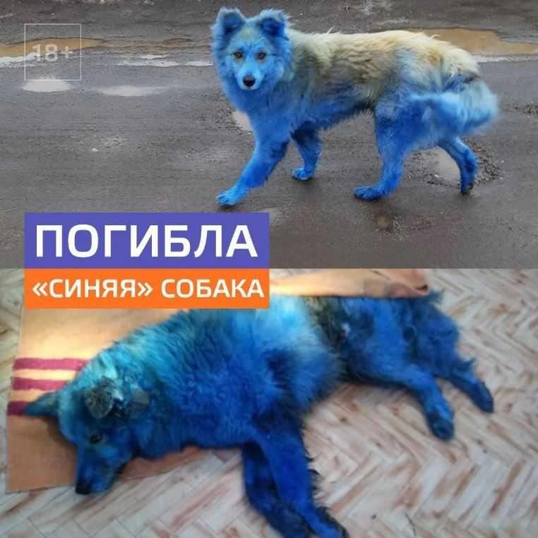 В Тверской области погибла синяя собака. Существуют две версии произошедшего: 1) над ней издевались подростки; 2) сбил автомобиль.