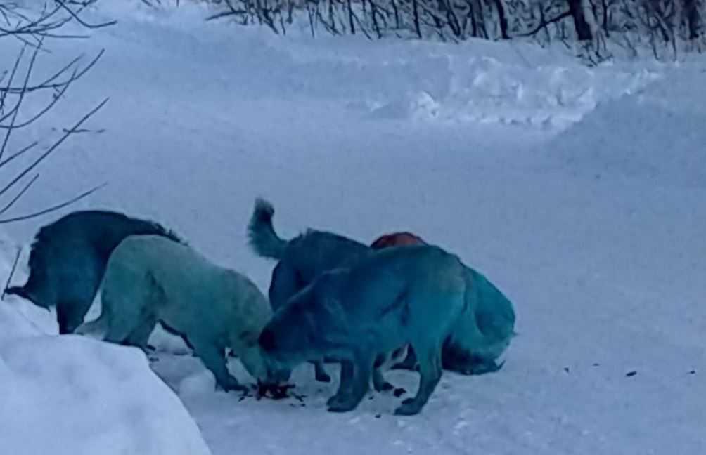 В городе Дзержинске Нижегородской области замечены собаки необычного окраса.
