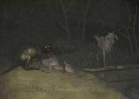 Террор в Чили: чупакабра продолжает пить кровь