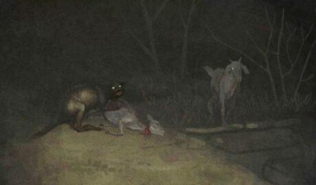 Террор в Чили: чупакабра продолжает пить кровь.