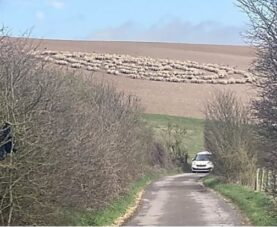 Стадо овец рисует круги на полях Англии
