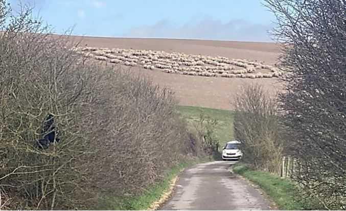 Стадо овец рисует круги на полях Англии.