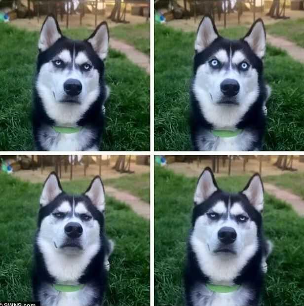 На фото видимо отражены четыре мимических образа хаски.