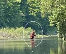 Видео снежного человека, несущего детеныша через реку