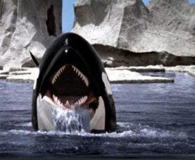 Косатки нападают на лодки и убивают акул. Что происходит?
