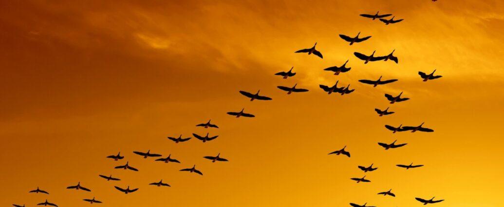 Миграция птиц: смешные предположения древних.