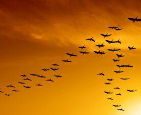 Миграция птиц: смешные предположения древних